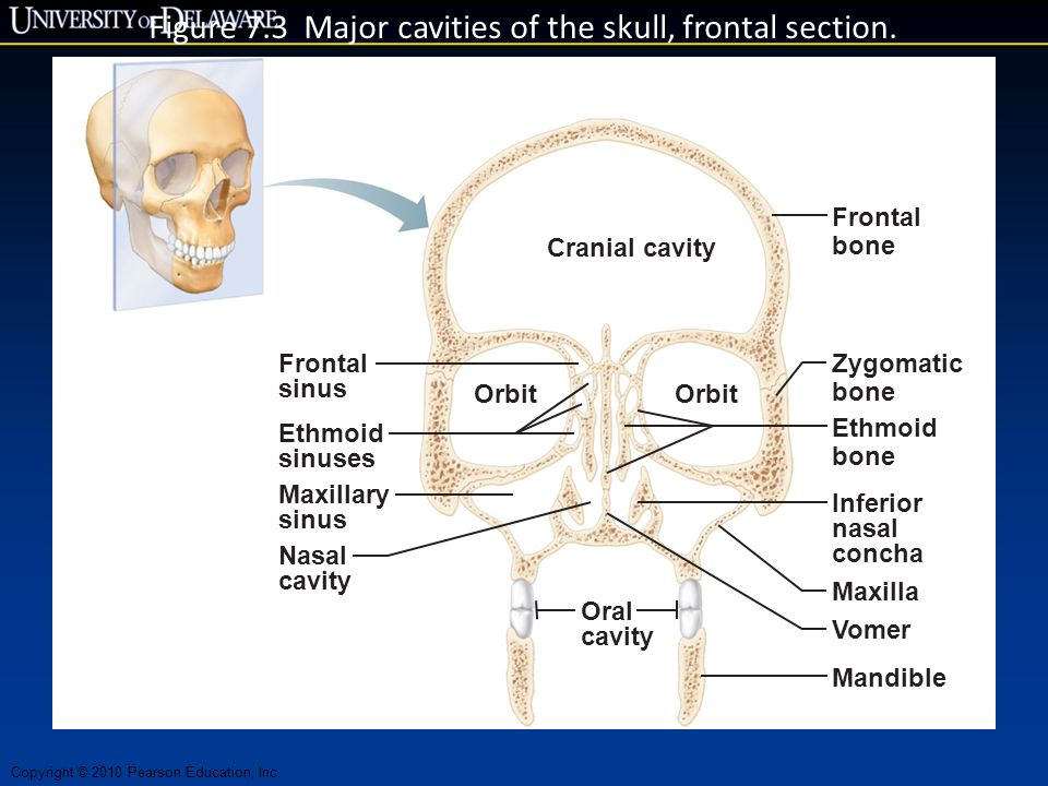 Figure 7.3 Major cavities of the skull, frontal section.