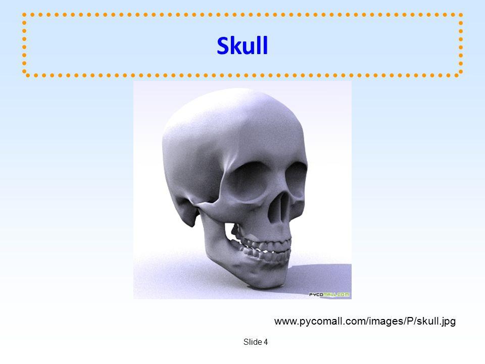 Skull www.pycomall.com/images/P/skull.jpg