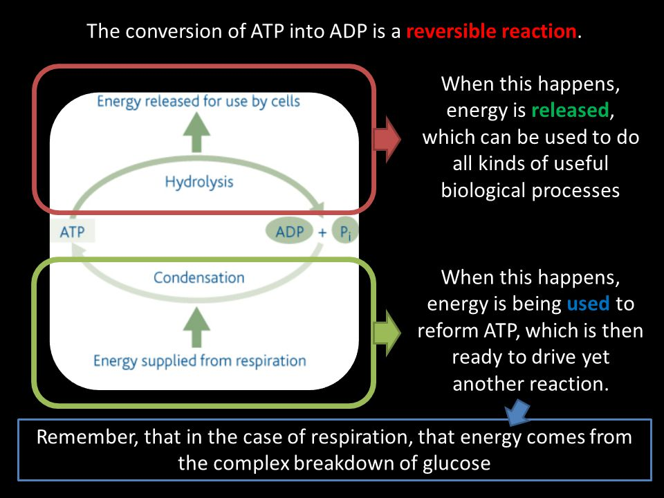 The conversion of ATP into ADP is a reversible reaction.