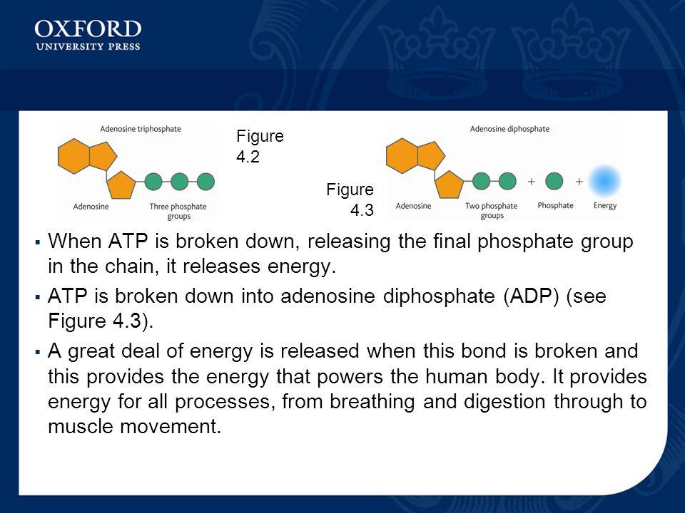 ATP is broken down into adenosine diphosphate (ADP) (see Figure 4.3).