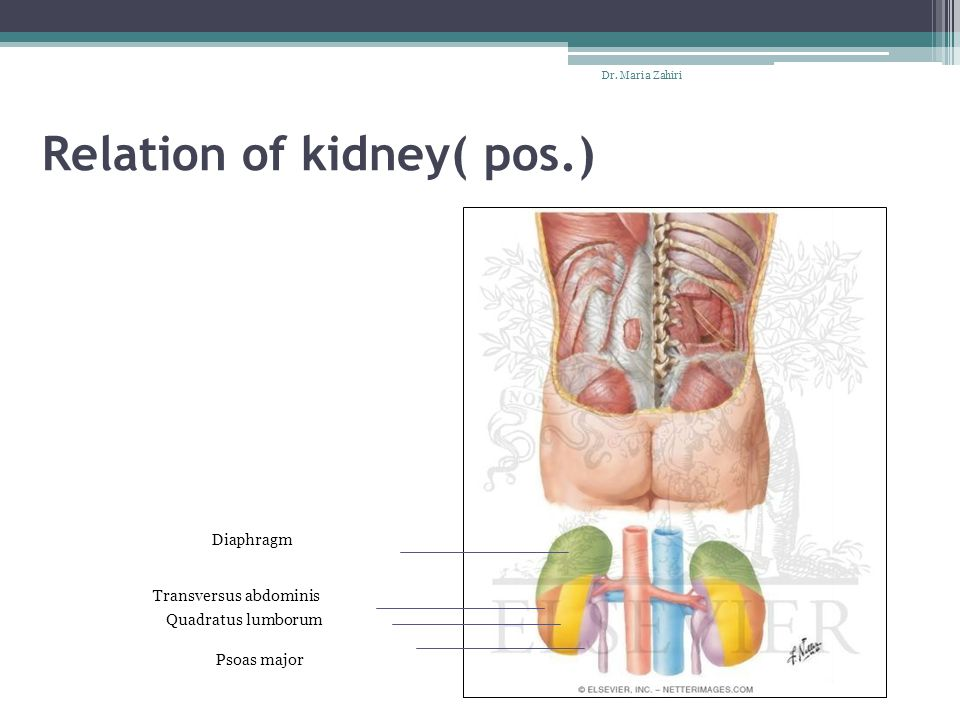 Relation of kidney( pos.)