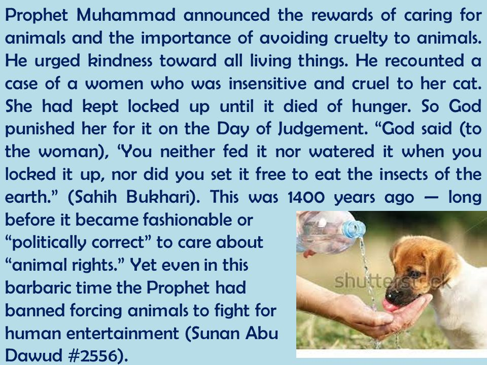 Prophet Muhammad announced the rewards of caring for animals and the importance of avoiding cruelty to animals. He urged kindness toward all living things. He recounted a case of a women who was insensitive and cruel to her cat. She had kept locked up until it died of hunger. So God punished her for it on the Day of Judgement. God said (to the woman), 'You neither fed it nor watered it when you locked it up, nor did you set it free to eat the insects of the earth. (Sahih Bukhari). This was 1400 years ago — long before it became fashionable or