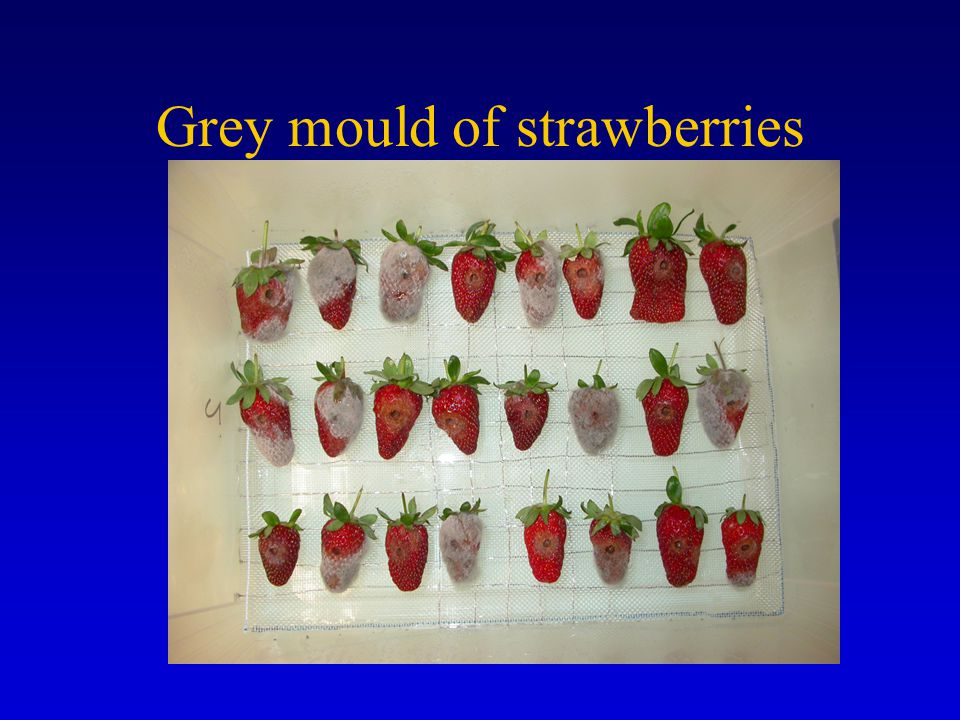 Grey mould of strawberries