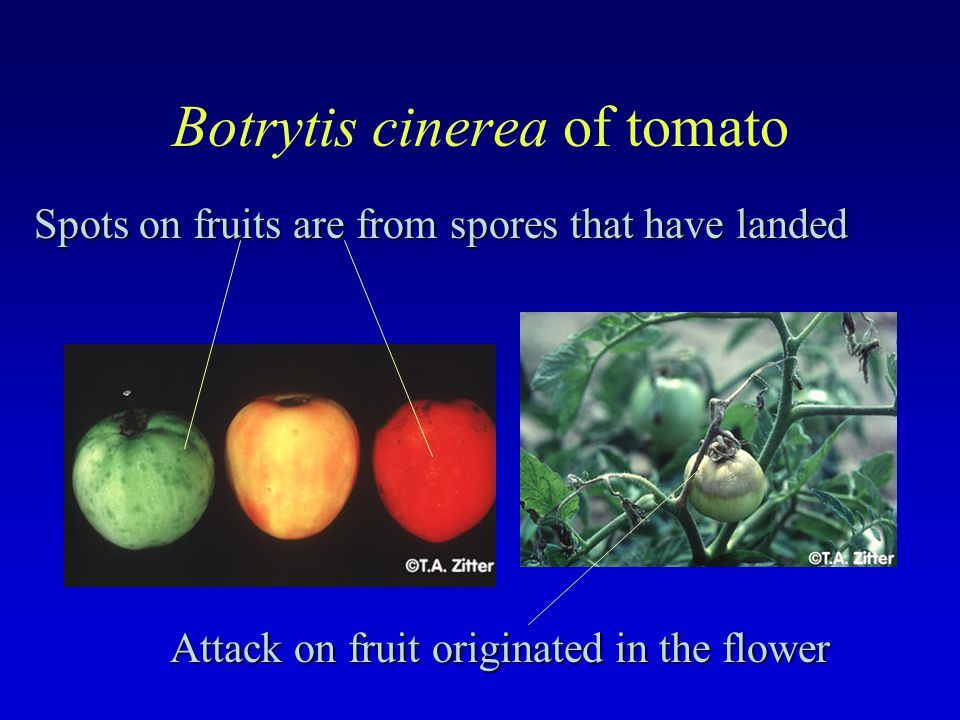 Botrytis cinerea of tomato