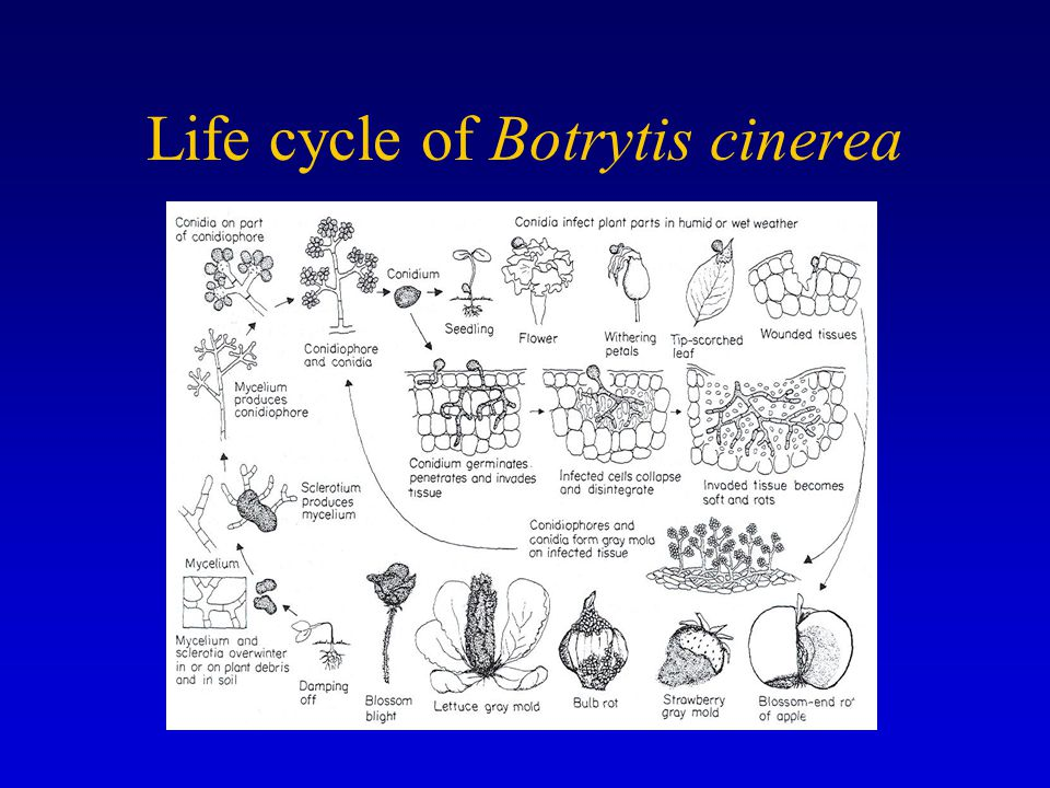 Life cycle of Botrytis cinerea