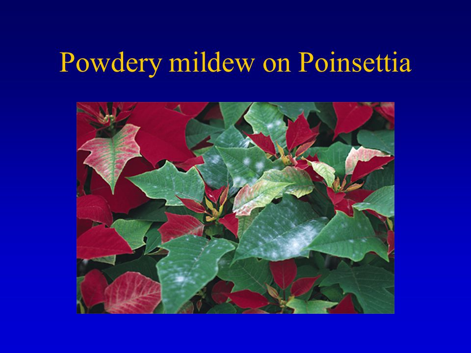 Powdery mildew on Poinsettia
