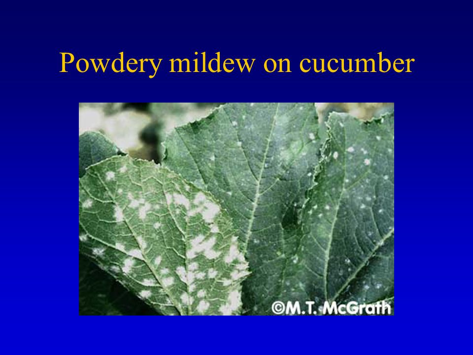 Powdery mildew on cucumber