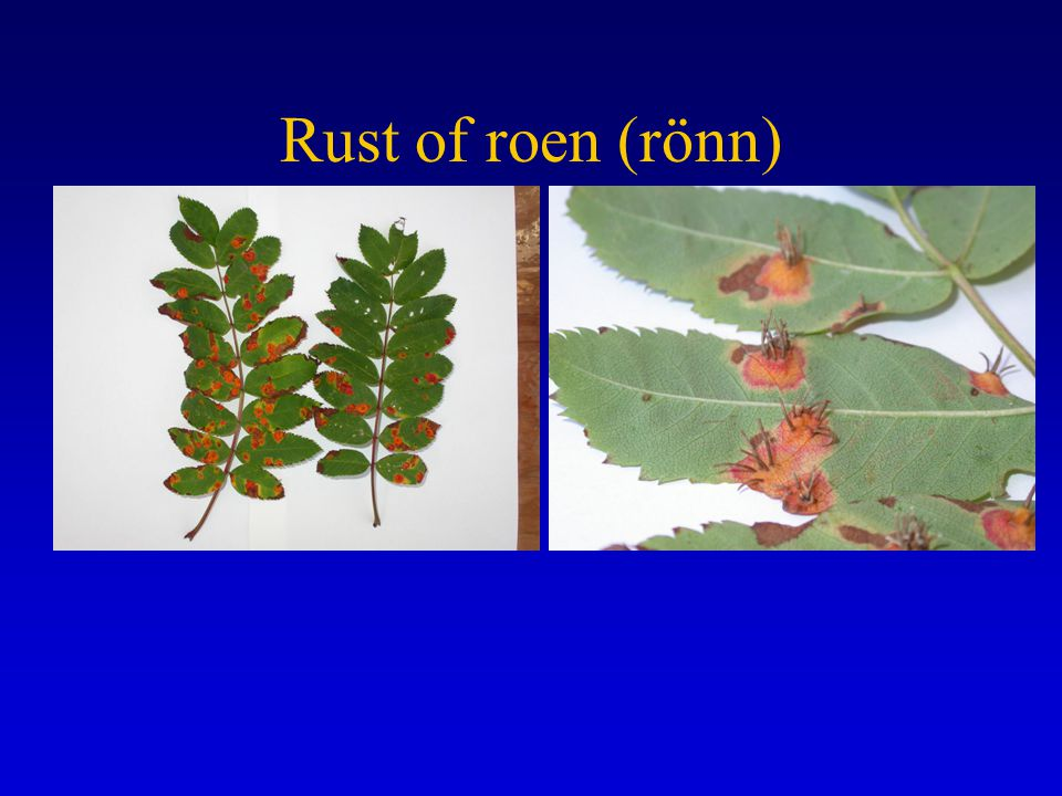 Rust of roen (rönn)