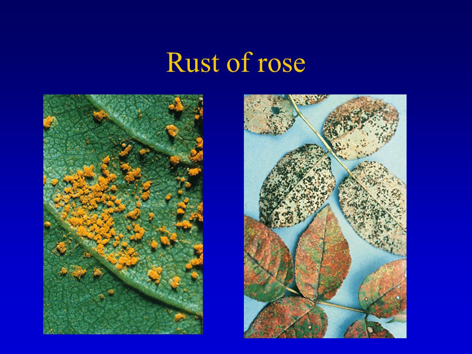 Rust of rose