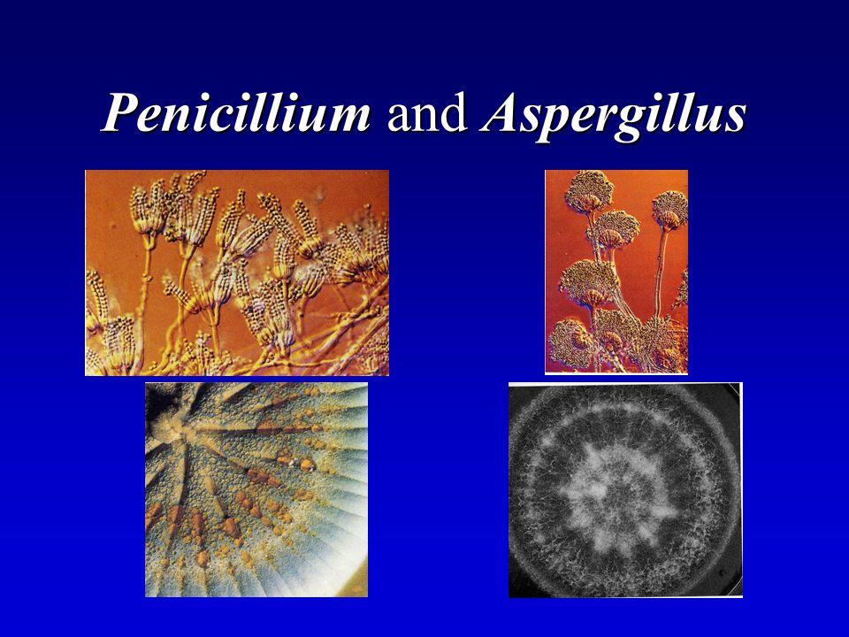 Penicillium and Aspergillus