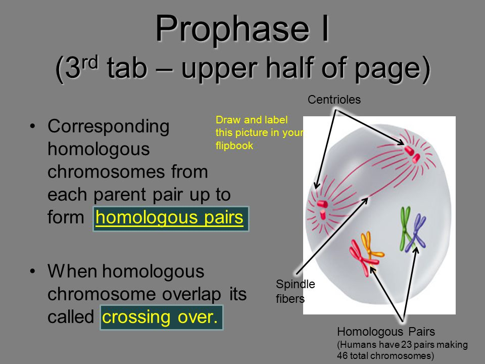 Prophase I (3rd tab – upper half of page)