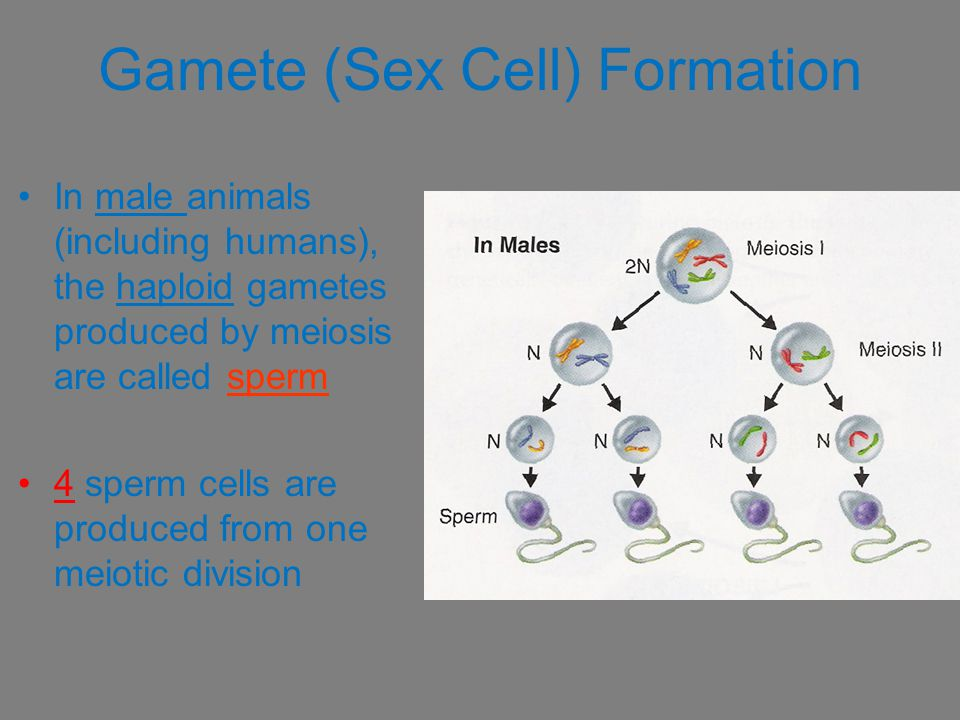 Gamete (Sex Cell) Formation
