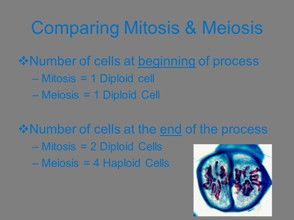 Comparing Mitosis & Meiosis