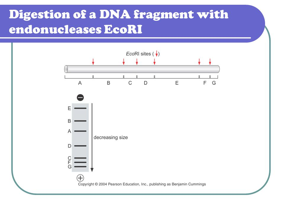 Digestion of a DNA fragment with endonucleases EcoRI