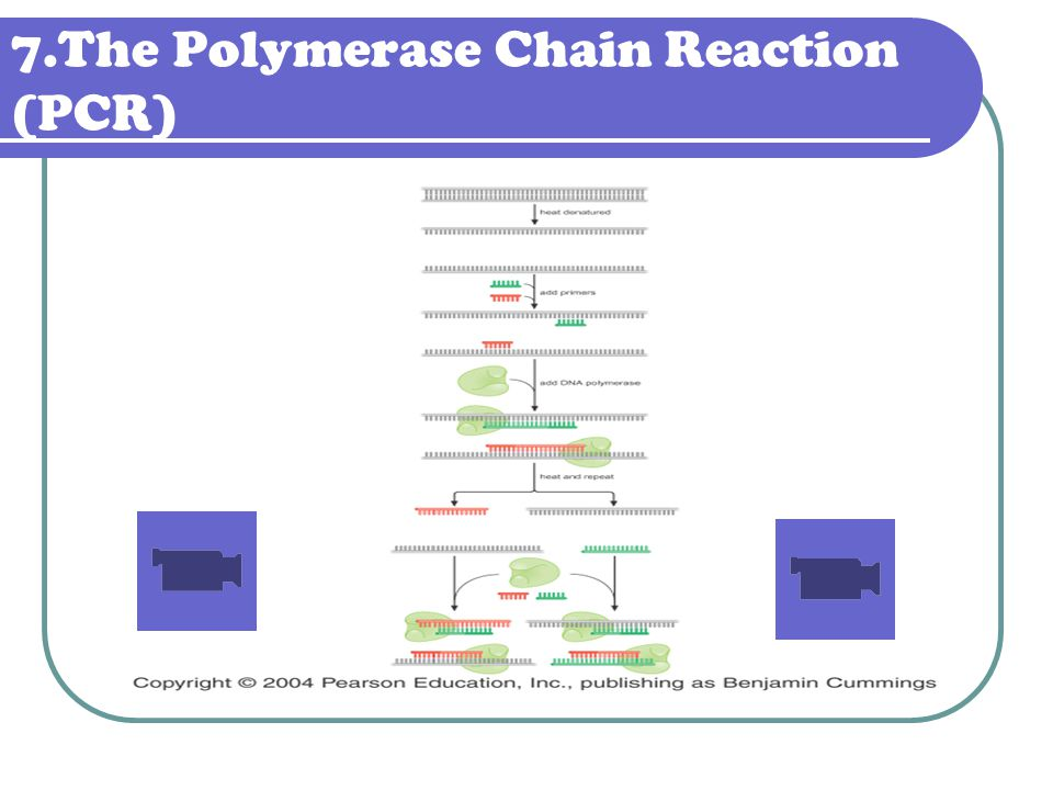 7.The Polymerase Chain Reaction (PCR)