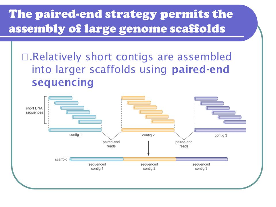 The paired-end strategy permits the assembly of large genome scaffolds