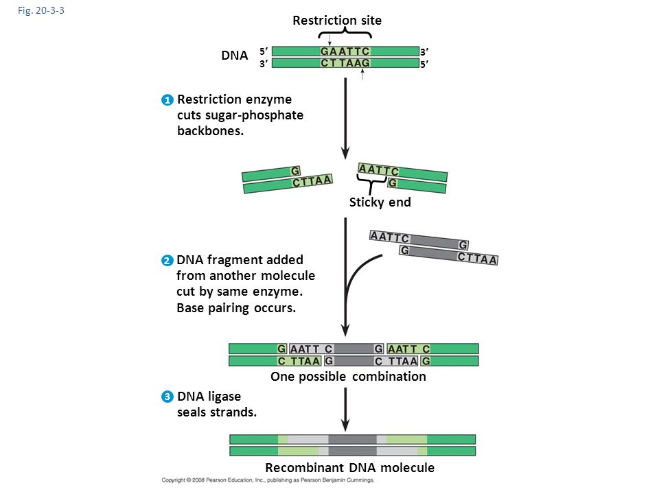 Restriction enzyme cuts sugar-phosphate backbones.