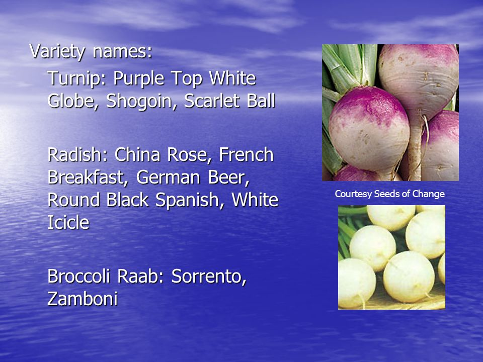 Turnip: Purple Top White Globe, Shogoin, Scarlet Ball