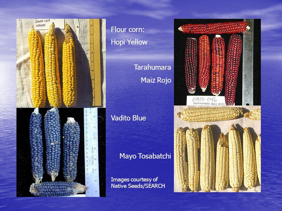 Flour corn: Hopi Yellow Tarahumara Maiz Rojo Vadito Blue