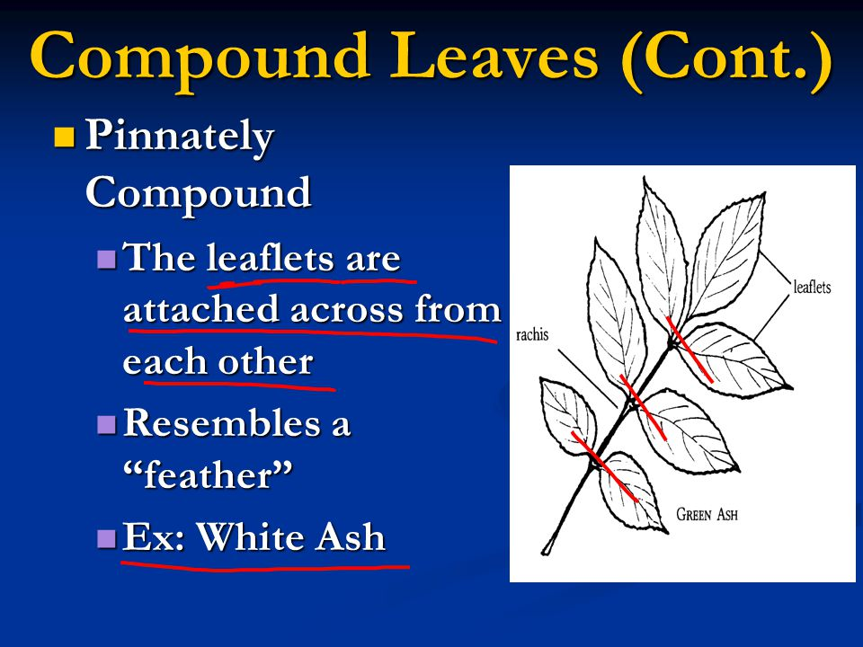 Compound Leaves (Cont.)