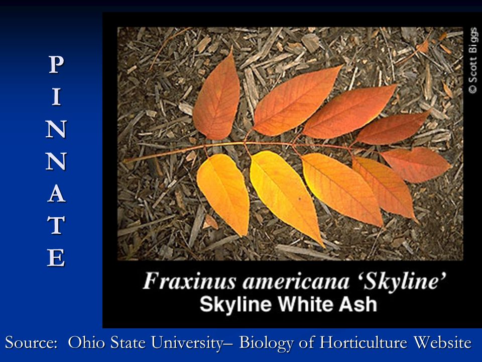 P I N N A T E Source: Ohio State University– Biology of Horticulture Website