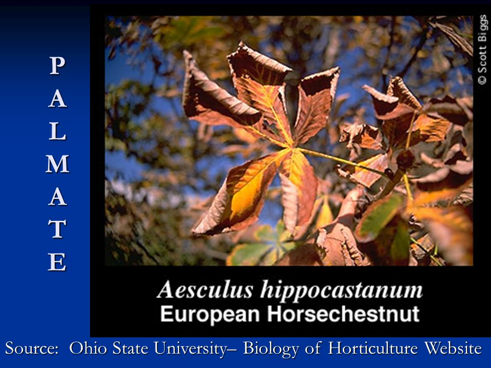 P A L M A T E Source: Ohio State University– Biology of Horticulture Website
