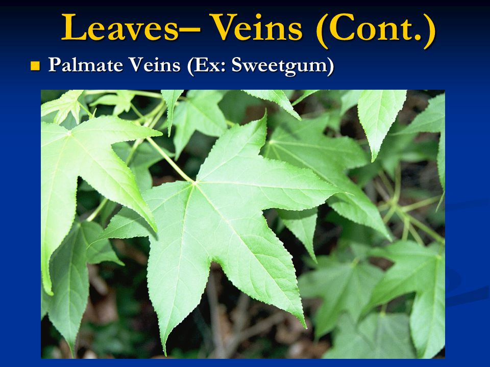 Leaves– Veins (Cont.) Palmate Veins (Ex: Sweetgum)