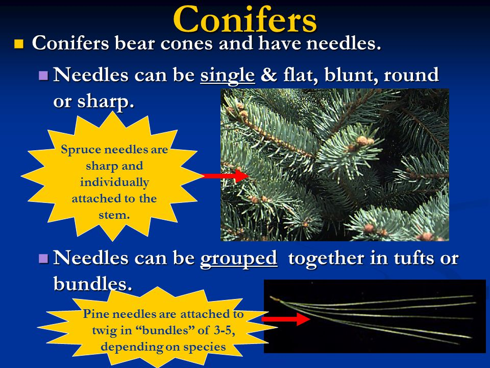 Spruce needles are sharp and individually attached to the stem.