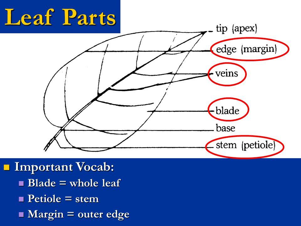 Leaf Parts Important Vocab: Blade = whole leaf Petiole = stem