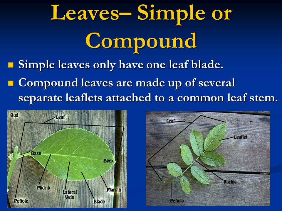 Leaves– Simple or Compound
