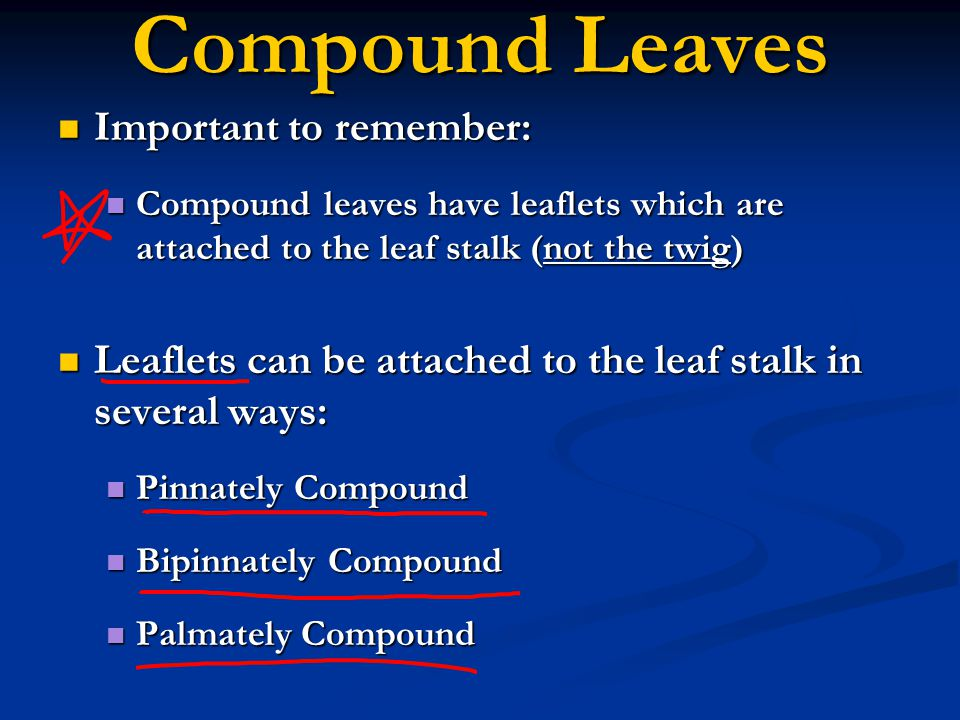 Compound Leaves Important to remember: