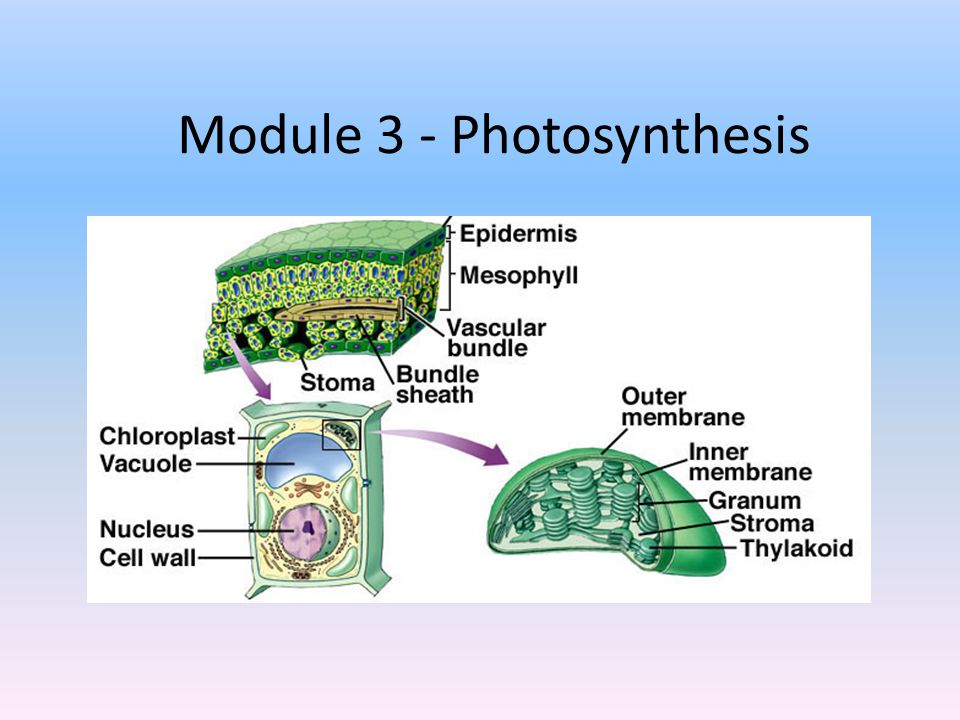 Module 3 - Photosynthesis