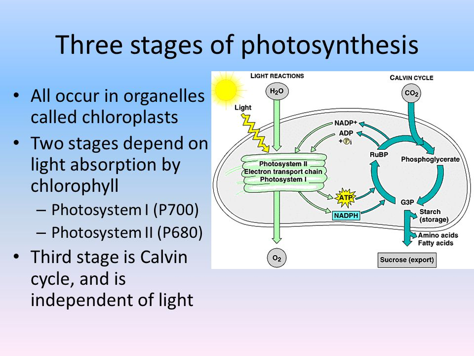 first stage of photosynthesis Plants produce _____ during the first stage of photosynthesis and because it is not used or needed in the second stage, it is considered to be a byproduct definition oxygen.