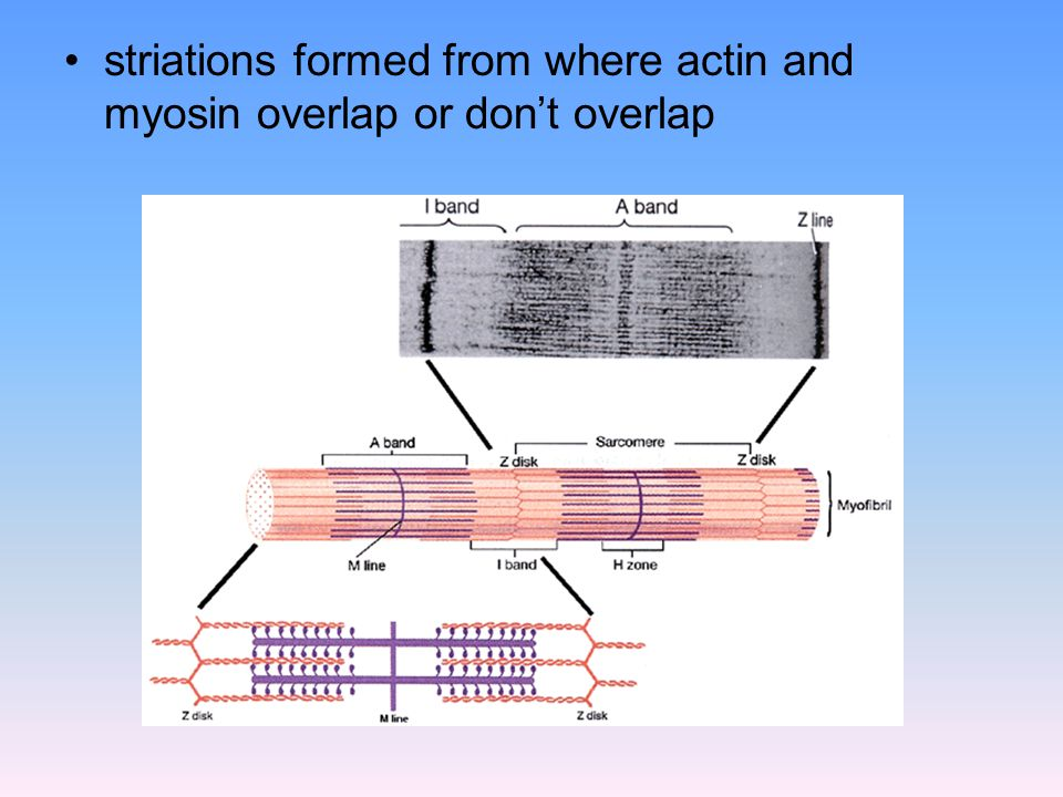 striations formed from where actin and myosin overlap or don't overlap