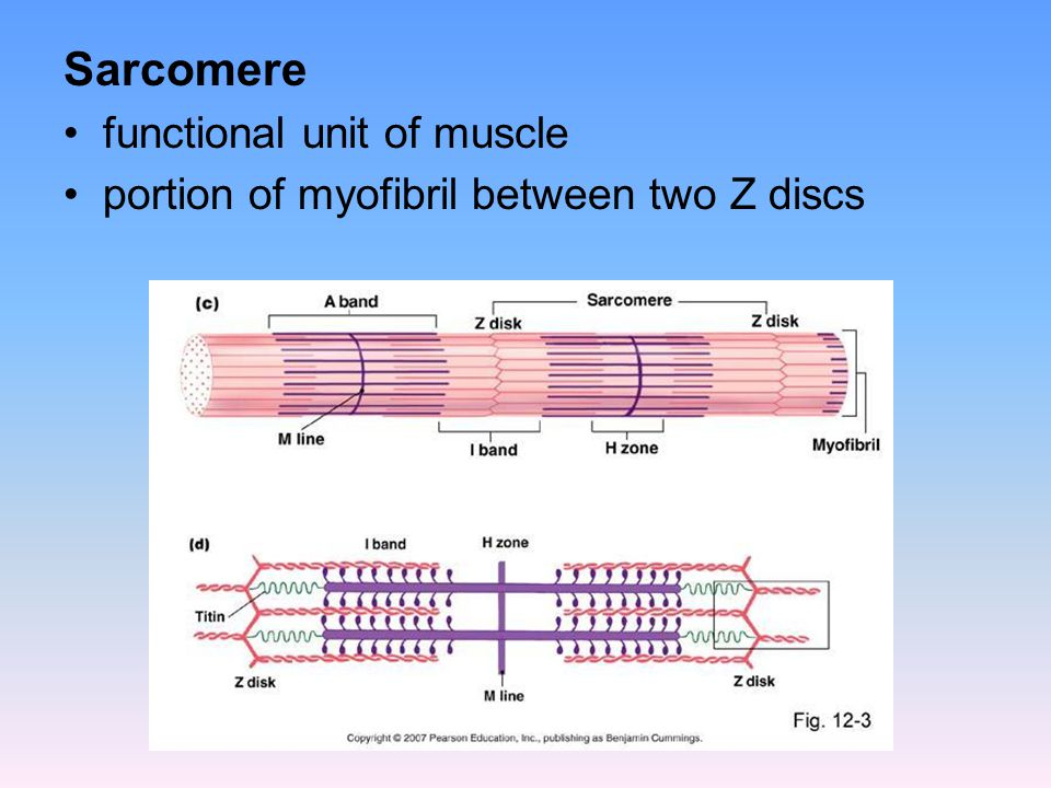 Sarcomere functional unit of muscle
