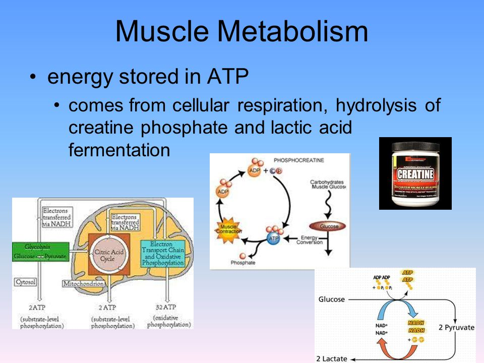 Muscle Metabolism energy stored in ATP