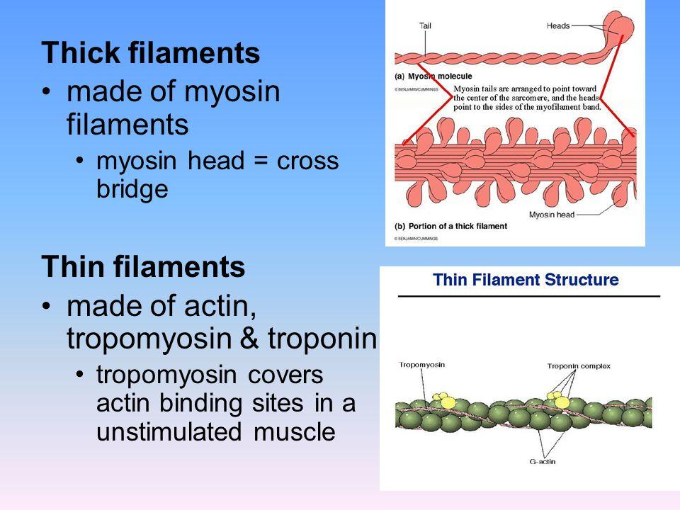 made of myosin filaments