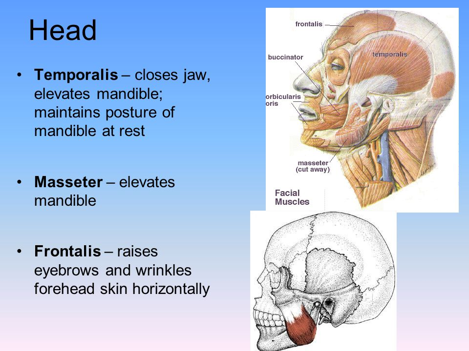Head Temporalis – closes jaw, elevates mandible; maintains posture of mandible at rest. Masseter – elevates mandible.