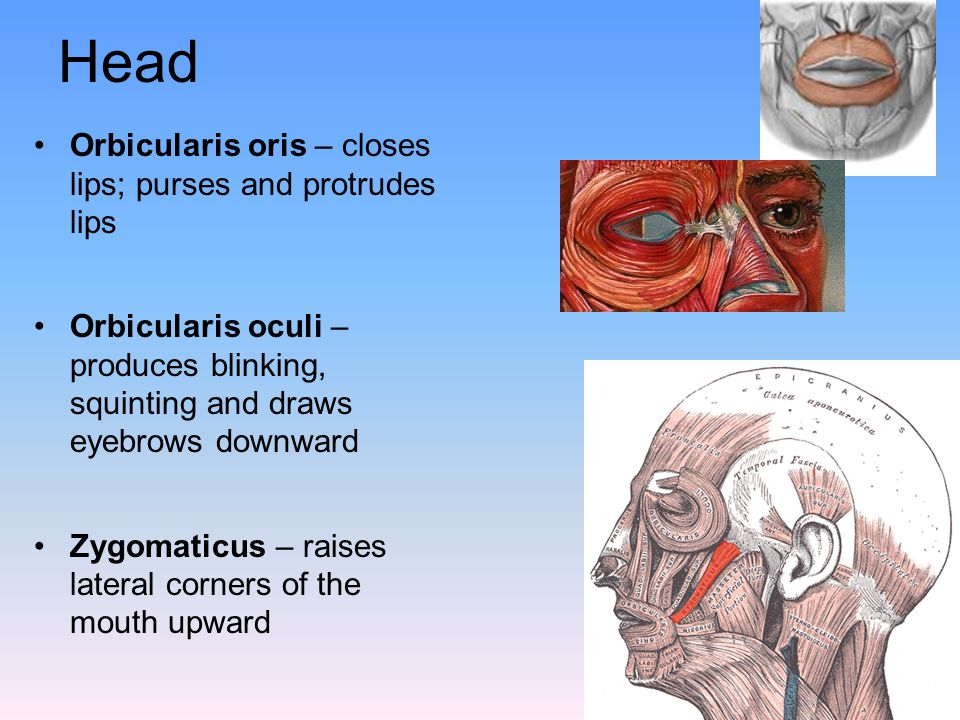 Head Orbicularis oris – closes lips; purses and protrudes lips