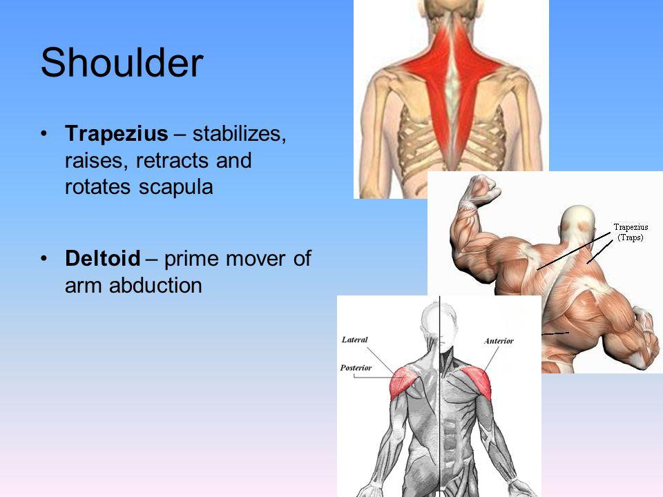 Shoulder Trapezius – stabilizes, raises, retracts and rotates scapula