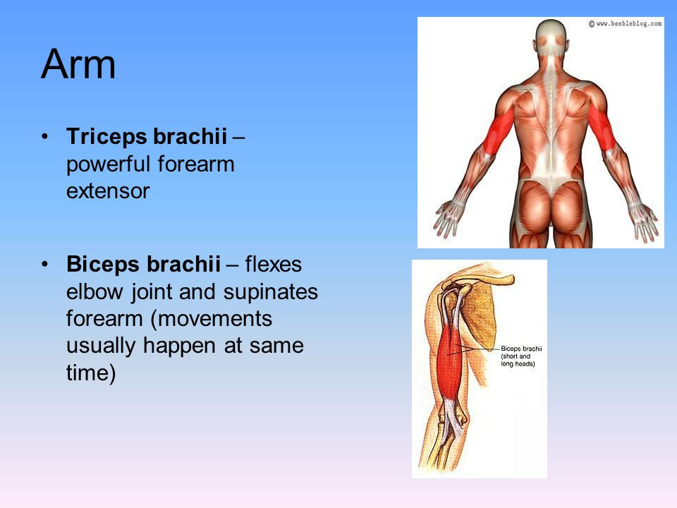 Arm Triceps brachii – powerful forearm extensor