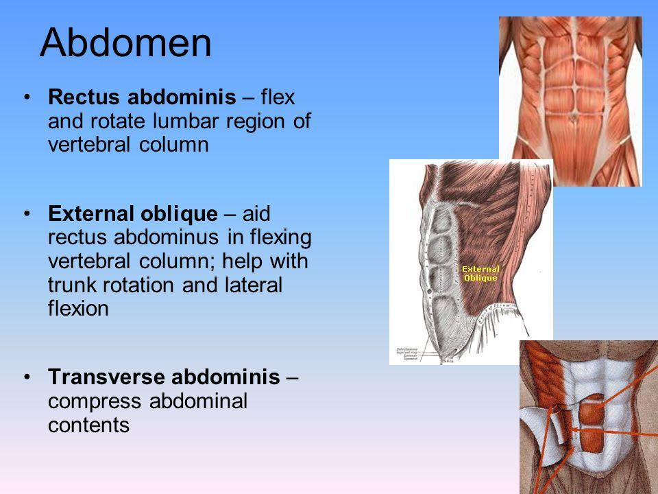 Abdomen Rectus abdominis – flex and rotate lumbar region of vertebral column.