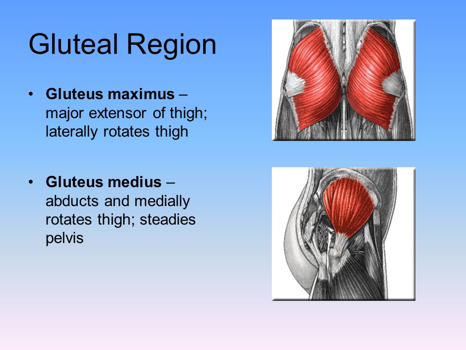 Gluteal Region Gluteus maximus – major extensor of thigh; laterally rotates thigh.