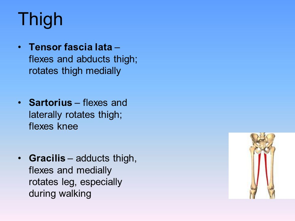 Thigh Tensor fascia lata – flexes and abducts thigh; rotates thigh medially. Sartorius – flexes and laterally rotates thigh; flexes knee.