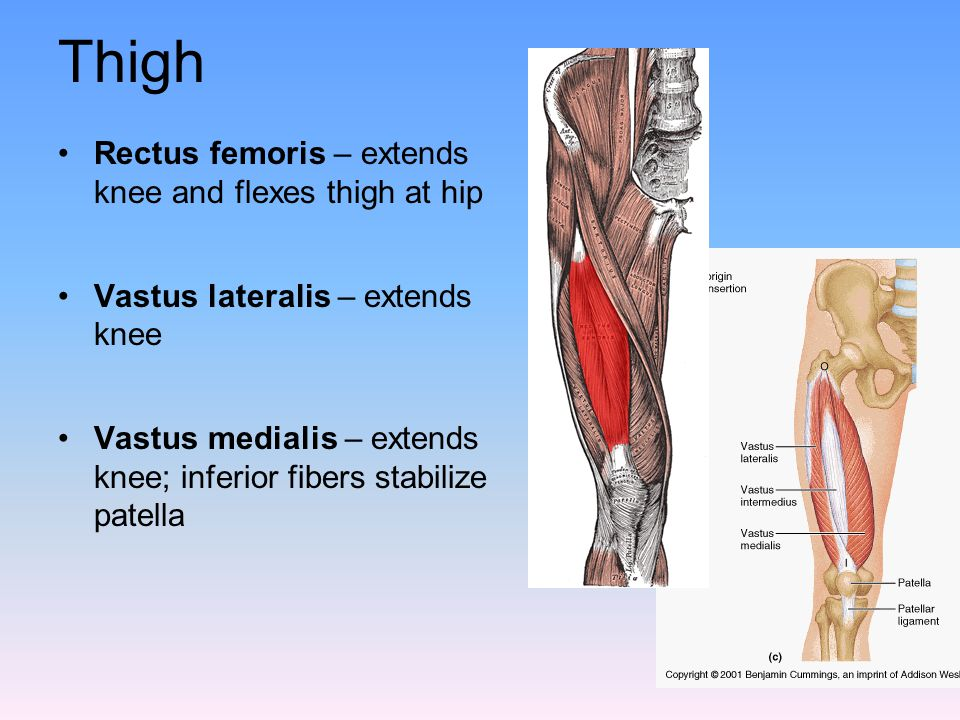 Thigh Rectus femoris – extends knee and flexes thigh at hip