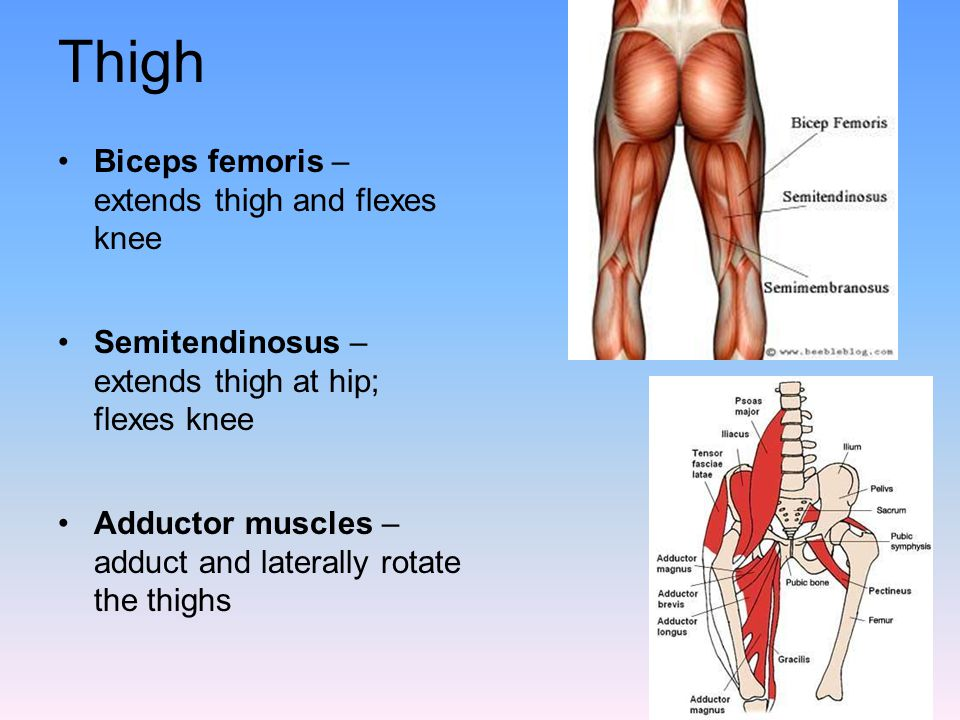 Thigh Biceps femoris – extends thigh and flexes knee