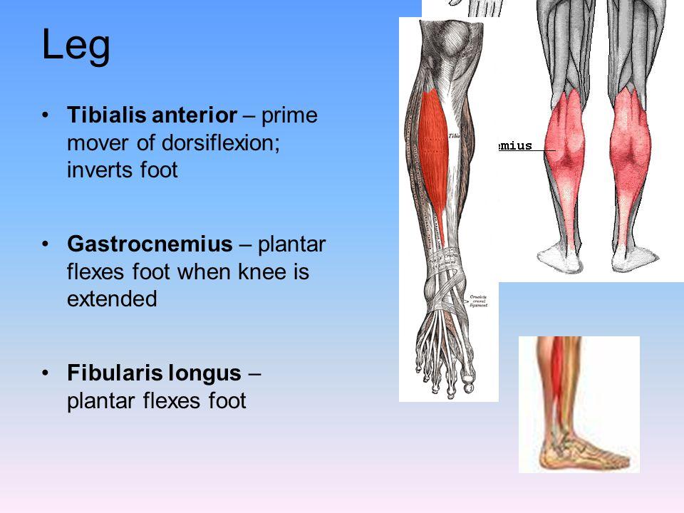 Leg Tibialis anterior – prime mover of dorsiflexion; inverts foot