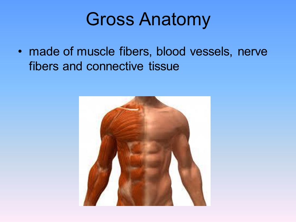 Gross Anatomy made of muscle fibers, blood vessels, nerve fibers and connective tissue