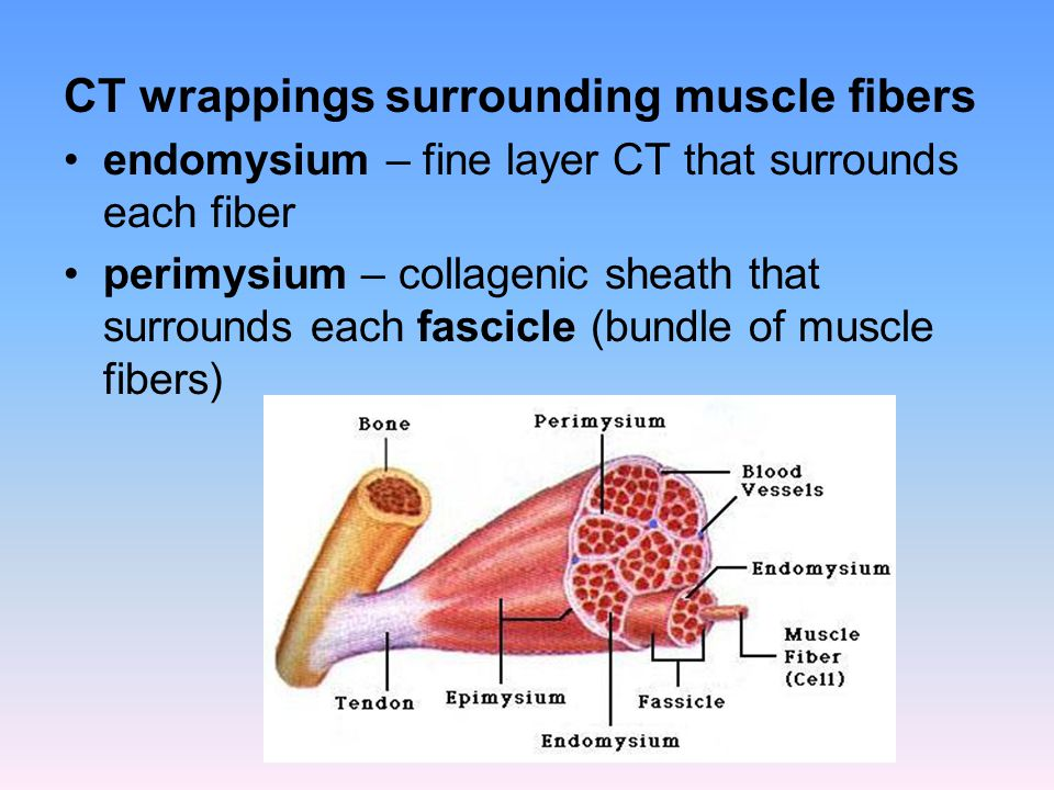 CT wrappings surrounding muscle fibers