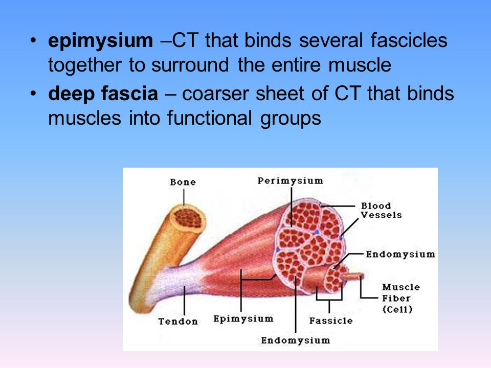 epimysium –CT that binds several fascicles together to surround the entire muscle